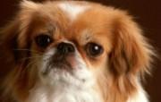 可爱小狗写真 壁纸12 可爱小狗写真 动物壁纸