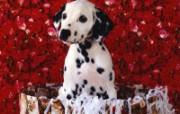 可爱小狗写真 壁纸15 可爱小狗写真 动物壁纸