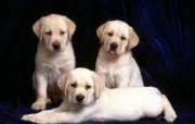 可爱小狗写真 壁纸17 可爱小狗写真 动物壁纸