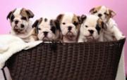 可爱小狗写真 壁纸21 可爱小狗写真 动物壁纸