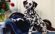 可爱小狗写真 壁纸31 可爱小狗写真 动物壁纸