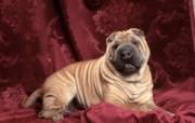可爱小狗桌面壁纸下载 动物壁纸