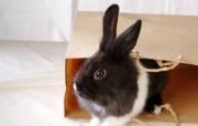 可爱小灰兔 动物壁纸