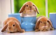 可爱玉兔 动物壁纸