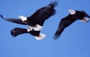 空中的王者:雄鹰展翅漂亮壁纸 动物壁纸