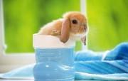宽屏世界!可爱兔子宽屏壁纸 动物壁纸