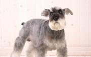 宽屏小狗写真桌面壁纸 动物壁纸