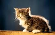 宽屏小猫写真桌面壁纸 动物壁纸