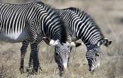 宽屏野生动物壁纸之斑马与长颈鹿 动物壁纸