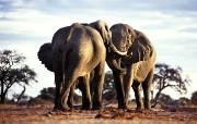 宽屏野生动物壁纸之大象 动物壁纸