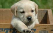 拉布拉多寻回犬壁纸 动物壁纸