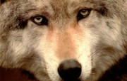 狼―冰冷的目光 动物壁纸