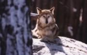 狼壁纸 动物壁纸