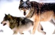 狼性!血性苍狼壁纸 动物壁纸