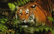 老虎 动物壁纸