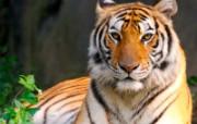 老虎写真 壁纸2 老虎写真 动物壁纸