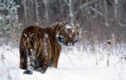 老虎写真 壁纸3 老虎写真 动物壁纸