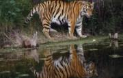 老虎写真 壁纸4 老虎写真 动物壁纸