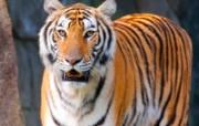 老虎写真 壁纸6 老虎写真 动物壁纸