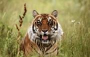 老虎写真 壁纸7 老虎写真 动物壁纸