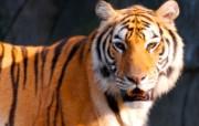 老虎写真 壁纸9 老虎写真 动物壁纸