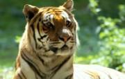 老虎写真 壁纸10 老虎写真 动物壁纸