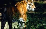 老虎写真 壁纸12 老虎写真 动物壁纸