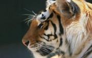 老虎写真 壁纸13 老虎写真 动物壁纸