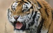 老虎写真 壁纸14 老虎写真 动物壁纸