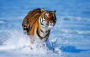 老虎写真 壁纸15 老虎写真 动物壁纸