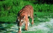 老虎写真 壁纸16 老虎写真 动物壁纸