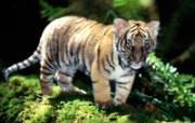 老虎写真 壁纸17 老虎写真 动物壁纸