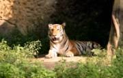 老虎写真 壁纸18 老虎写真 动物壁纸