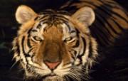 老虎写真 壁纸19 老虎写真 动物壁纸