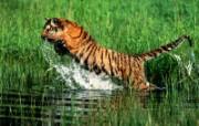 老虎写真 壁纸21 老虎写真 动物壁纸