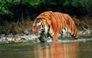 老虎写真 壁纸22 老虎写真 动物壁纸