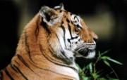老虎写真 壁纸23 老虎写真 动物壁纸