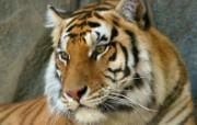 老虎写真 壁纸24 老虎写真 动物壁纸
