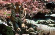 老虎写真 壁纸25 老虎写真 动物壁纸