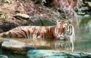 老虎写真 壁纸26 老虎写真 动物壁纸
