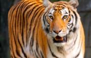 老虎写真 壁纸27 老虎写真 动物壁纸