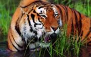 老虎写真 壁纸28 老虎写真 动物壁纸