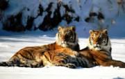 老虎写真 壁纸29 老虎写真 动物壁纸