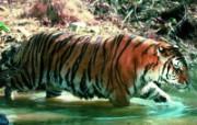 老虎写真 壁纸30 老虎写真 动物壁纸