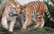 老虎写真 动物壁纸