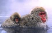 灵长类动物 动物壁纸