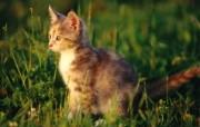 绿草上的可爱小猫咪宽屏壁纸 壁纸10 绿草上的可爱小猫咪宽 动物壁纸