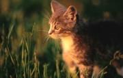 绿草上的可爱小猫咪宽屏壁纸 壁纸11 绿草上的可爱小猫咪宽 动物壁纸