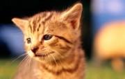 绿草上的可爱小猫咪宽屏壁纸 壁纸16 绿草上的可爱小猫咪宽 动物壁纸