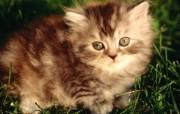 绿草上的可爱小猫咪宽屏壁纸 壁纸20 绿草上的可爱小猫咪宽 动物壁纸